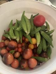 Morrison Tomato Farm 2019 (17)