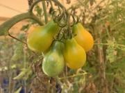 Morrison Tomato Farm 2019 (3)