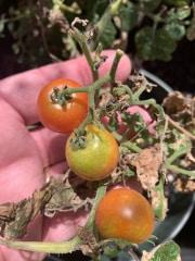 Morrison Tomato Farm 2019 (9)