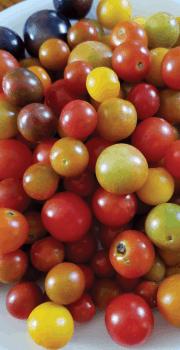 Morrison Tomato Farm LLC Hastings FL (1)