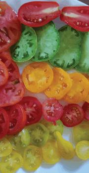 Morrison Tomato Farm LLC Hastings FL (3)